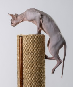 Sphynx cat climbing to perch on Natural Climbers cat tower
