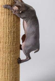 sphynx cat uses four legs climbing natural climbers cat furniture